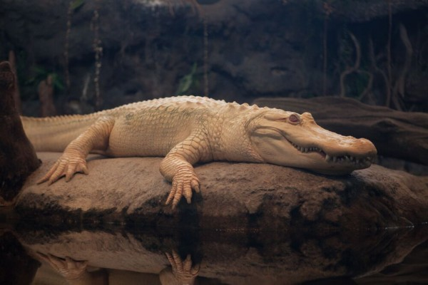 California-Academy-of-Sciences-CAS-Albino-Alligator-600x400
